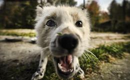 Cáo được thuần hóa thành thú nuôi tại Nga