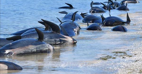 Hàng trăm cá voi mắc cạn tại đảo Tasmania của Australia