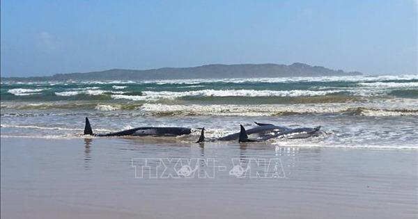 Số cá voi chết do bị mắc cạn ngoài khơi Australia tăng lên 90