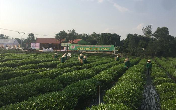 Góp phần nâng cao chất lượng chè Tân Cương, Thái Nguyên